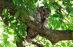 9barelyawake (caroltlw (on hiatus)) Tags: bird birds florida wildlife owl barred strix varia