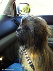 chewbacca puppy (sanitaryum) Tags: hilarious funny lol cleanhumor