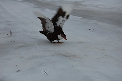 Duck#3 tries the ice