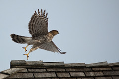 Cooper's Hawk Takeoff (Brian Guest (giant rebus)) Tags: ontario canada bird nature birds d50 nikon hawk raptor coopers richmondhill coopershawk naturelovers accipiter accipitercooperii explored slbtakeoff