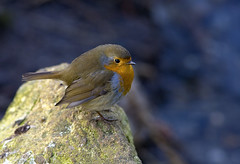 Dulwich Robin (ZX9 - Keith H) Tags: park winter bird robin 2009 dulwich 14x mk11 canonextenderef14xii canonef300mmf4lisusm