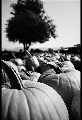 lost pumpkins