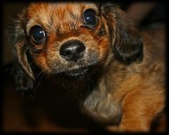 Milo ~ our chuwinnie (Joshua Tree Images.com ) Tags: birthday dog puppy milo longhair winner jag chuwinnie