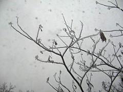 Ice on Mimosa Tree (junebug_1944) Tags: icestorm eurekaspringsar january2009