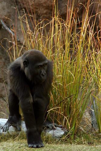 Glenda, the Good Gorilla...