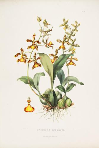 007- Orquideas de Mexico y Guatemala 7