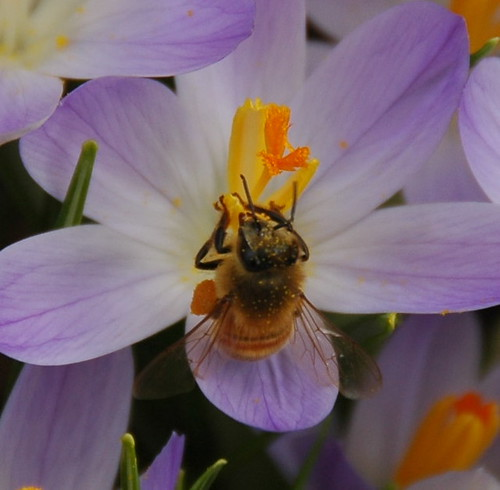 Honeybee on Crocus tommasinianus