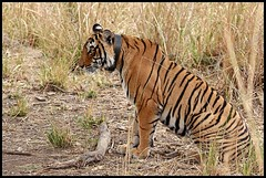 Tiger Sighting in Ranthambore National Park, India (Saran Vaid) Tags: wild portrait nature beautiful beauty forest cat fur mammal outdoors golden nationalpark dangerous feline asia king jeep expression stripes wildlife tiger royal reserve sigma best safari jungle killer beast hunter endangered elegant predator wildcat creature habitat majestic powerful bengal soe sanctuary tigress animalkingdom rajasthan carnivore ranthambore savage sighting bengaltiger ranthambhore pantheratigris jeepsafari ranthambhor radiocollar sawaimadhopur flickrsbest ranthambhorenationalpark bej t17 projecttiger abigfave royalbengaltiger flickrdiamond canoneos450d overtheexcellence goldstaraward tigersighting tigerindia rubyphotographer indiatiger sigma150500 vosplusbellesphotos sigma150500mmf563dgoshsm flickrbigcats flickraward