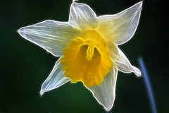 Wild Daffodil (Rosemarie.s.w) Tags: flowers nature floral yellow garden spring view daffodil fractal platinumheartaward fractalius wmpwinaproaccount
