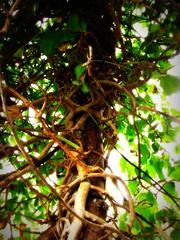 twining vines