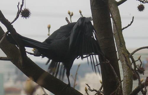 DSC_93_crow_twig