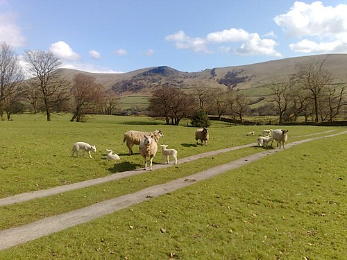 Edale Lambs
