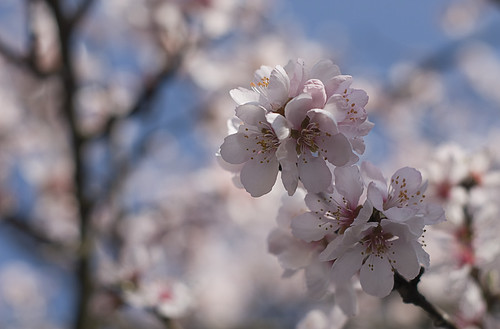 Spring cherry (by Hamsteren)