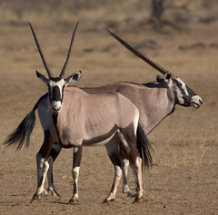 Double-headed Oryx ;) (Wild Dogger) Tags: africa travel nature animals tiere wildlife urlaub natur adventure safari afrika 2008 kalahari soe sdafrika oryx herbivore gemsbok oryxgazella kgalagadi pflanzenfresser specanimal spiesbock vosplusbellesphotos thomasretterath