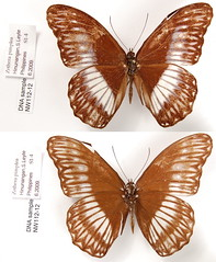 Zethera pimplea