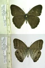 Euptychoides hotchkissi