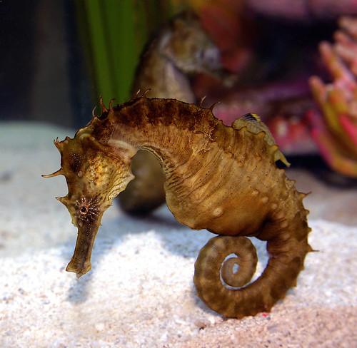 Erectus Seahorse