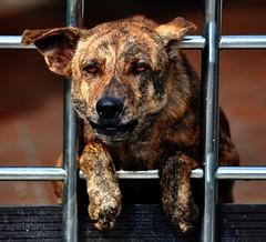 Guard Dog (KC Toh) Tags: dog guard barking 狗 d90 狗吠 看门
