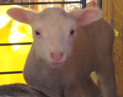 barb lamb