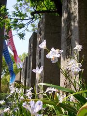 Breeze (mie**) Tags: light shadow sky flower love japan swim children spring peace pray  carp osaka breeze fineday