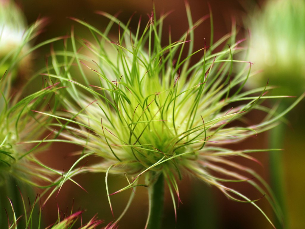Withered Pasque flower