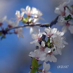 Spring Breeze (♥ B i b b i ♥) Tags: flowers blue sky white flower tree green canon spring flora sweden stockholm bokeh himmel bluesky cherryblossom blomma sverige blommor 2008 cherrytree träd vår 30d blå grimsta grön hbm bluemonday vit körsbärsblom canon30d blåhimmel körsbärsträd sigma70300mmf456apodgmacro happybluemonday