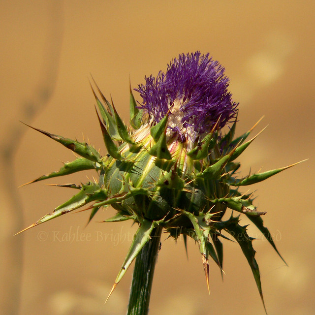 Thistle While You Work