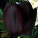 Black tulip squared