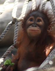 Baby Orangutan (FLPhotonut) Tags: baby nature orangutan primate canon75300 lowryparkzoo canon50d flphotonut