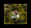 Picus viridis (Sam ♑) Tags: bird canon germany deutschland eifel nickle picusviridis vogel bitburg rheinlandpfalz greenwoodpecker yaffle potofgold grünspecht picidae sam8883