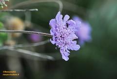 (Rossana Arcoleo) Tags: flower fleur nikon natura sicily palermo fiore sicilia rossana d60 sicile palerme capozafferano arcoleo rossana02 rossanaarcoleo