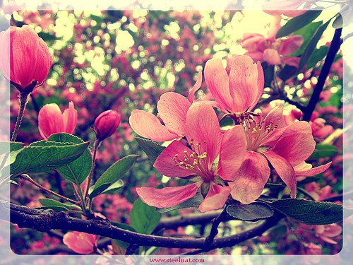 Blossoming apple tree-4