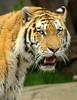 Tiger.... (Brian Callahan (Luxgnos.com)) Tags: animals stripes teeth tiger bigcat siberiantiger bigcats briancallahan shinsanbc luxgnosphotography luxgnosis wwwluxgnoscom