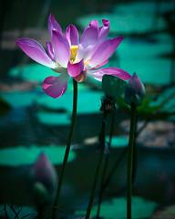 Gone with the Wind (DSC9552) (Fadzly @ Shutterhack) Tags: flower macro closeup catchycolors waterlily lotus bokeh nikond50 malaysia pahang terengganu fadzlymubin shutterhack lakecini