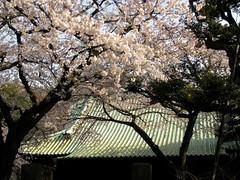 Gokoku-in sakura, Yanaka, Tokyo.JPG