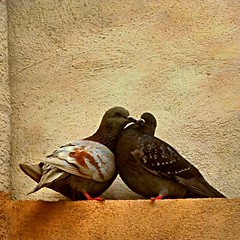 Love Is In The Air (...too) (Osvaldo_Zoom) Tags: love birds kiss couple pigeons lovers bacio amanti