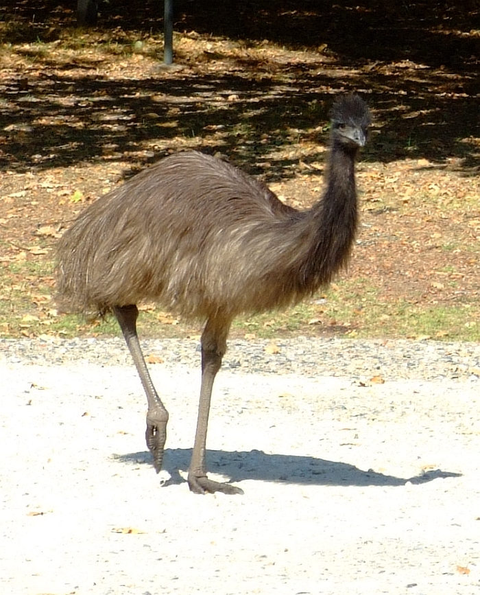 another emu