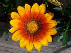 one more gazania (Little Grey) Tags: flowers red orange flower color nature colors yellow gazania naturesbest clck diamondstars natureiswonderful wonderfulworldofflowers flickrsawesomeblossoms thegoldenstarfish