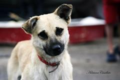 Simpatia pura! (Adriana Casellato) Tags: dog pet cute co animal canon 50mm cachorro 18 animais simpatia viralata streetdog