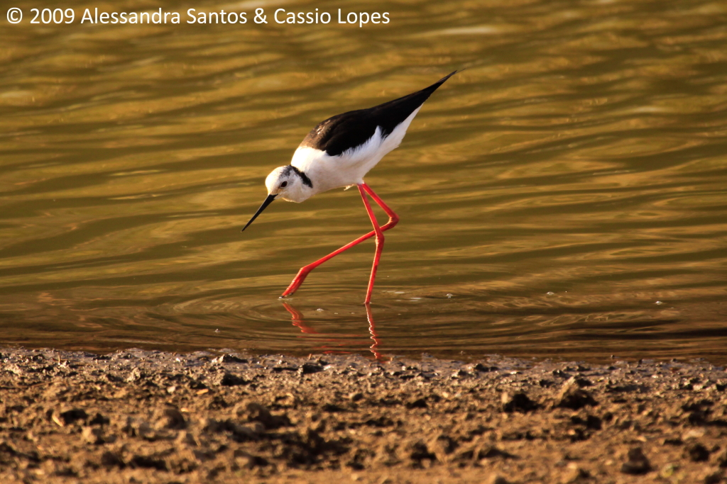 Black-winged Stilt _MG_2702_F