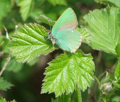 Green Hairstreak butterfly (5)