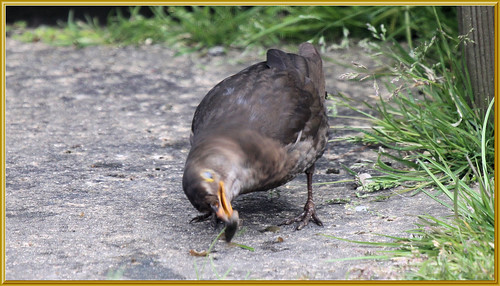 Blackbird and Pond Snail 2