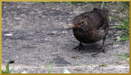 Blackbird and Pond Snail