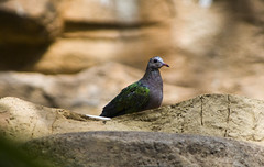 "Colorful Australian pigeon • <a style=""font-size:0.8em;"" href=""http://www.flickr.com/photos/30765416@N06/4592974272/"" target=""_blank"">View on Flickr</a>"