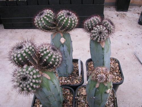 Grafted seedlings 4601014824_45c9bbaa68