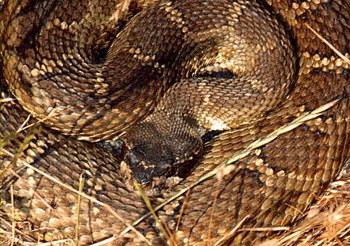western rattlesnake1
