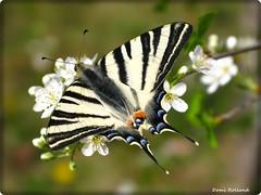 Papillon (Domi Rolland ) Tags: france nature europe papillon millau aveyron midipyrnes abigfave natureselegantshots parcdelavictoire