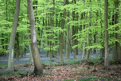 Beech and Bluebells, Kings Wood (Jim_Higham) Tags: wood blue green nature leaves bells spring natural kings mast beech fagus sylvatica