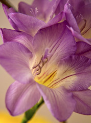 Freesia (Canon John's 7D (Wow! 3,000,000+ views, Thanks)) Tags: fragrant freesia tepal funnelshaped