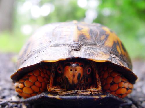 Eastern Box Turtle peeking out
